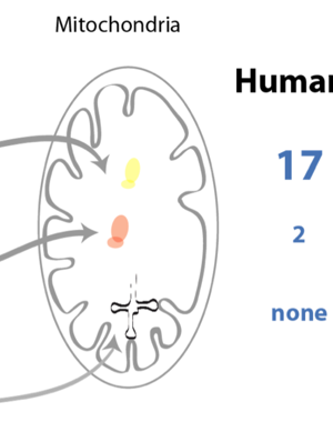 mrna-translation-mitochondria-figure